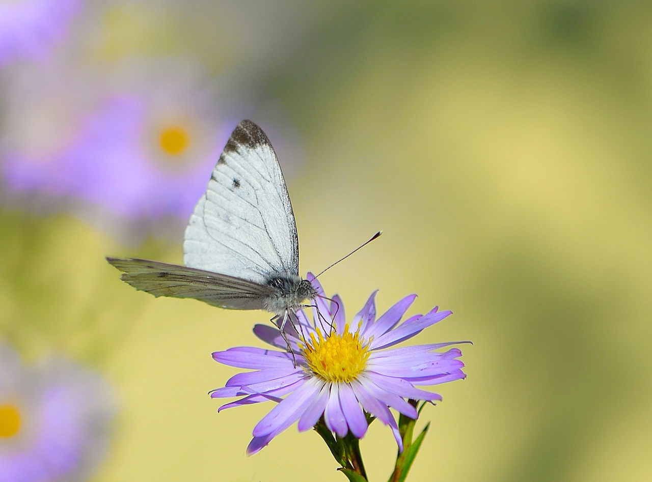 insect, animal themes, animals in the wild, one animal, butterfly - insect, flower, nature, fragility, animal wildlife, focus on foreground, close-up, no people, butterfly, day, beauty in nature, outdoors, spread wings, freshness, pollination, perching, flower head