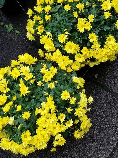 Flower Photography Yellow 花 Plant Beauty Beauty In Nature Chysanthemun 菊 Tokyo Japan Yellow Color