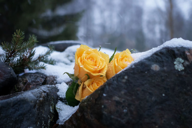 Plant Beauty In Nature Flower Flowering Plant Nature Fragility Close-up Vulnerability  Rosé Petal Yellow Rose - Flower Freshness Winter Inflorescence No People Day Cold Temperature Snow Flower Head Outdoors