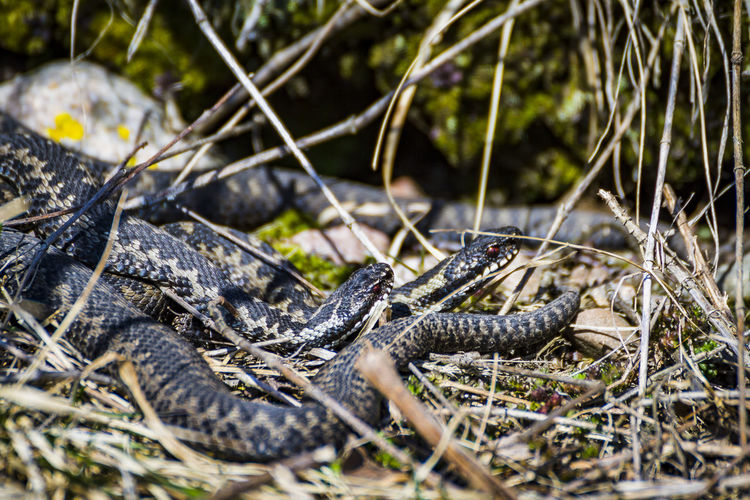 two adders looking at something Animal Animal Body Part Animal Scale Animal Themes Animal Wildlife Animals In The Wild Close-up Day Field Forest Land Nature No People One Animal Outdoors Plant Reptile Selective Focus Snake Stick - Plant Part Tree Vertebrate