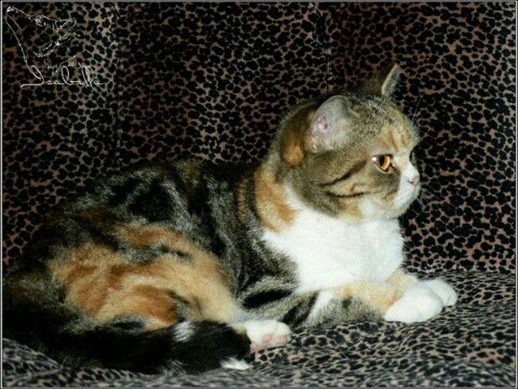 кошка Скарлетт британская британка короткошерстная мраморная черепаха черепаховая трехцветная