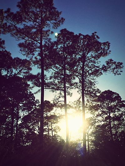 Pretty Blue Sky Sun Shine Sunshine Trees Branches Pine Tree Pine Tree Pine Trees Glare Rays The Great Outdoors - 2017 EyeEm Awards