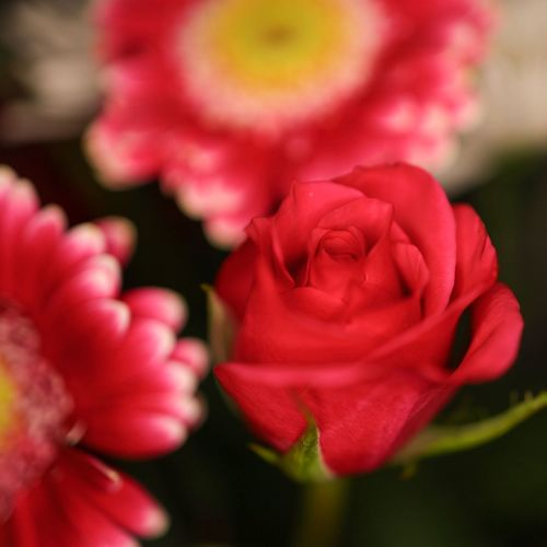 Flowering Plant Flower Beauty In Nature Plant Close-up Petal Freshness Vulnerability  Fragility Inflorescence Pink Color Flower Head Rosé Focus On Foreground Growth Nature Rose - Flower Outdoors No People Selective Focus