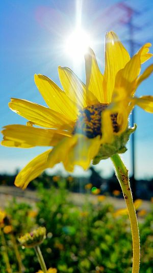 Flower Yellow Nature Close-up Growth Plant Flower Head Scenics Sun Fragility No People Outdoors Sky Springtime Petal Freshness Sunflower Fakesun Cloaking Cloudsporn Excersice Santaanariverbed