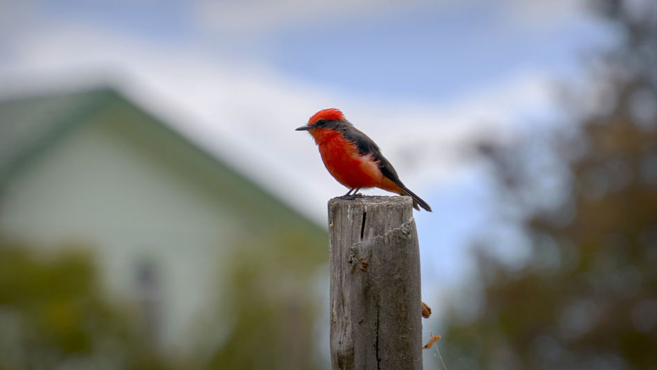 The ever-vigilant Vermilion Flycatcher perches while hunting for insects Cardinal Songbird  Vermillion Alert Animal Themes Animal Wildlife Animals In The Wild Beauty In Nature Bird Close-up Day Earlybird Fencepost Flycatcher Focus On Foreground House Hunting Nature No People One Animal Outdoors Perching Red Redbird