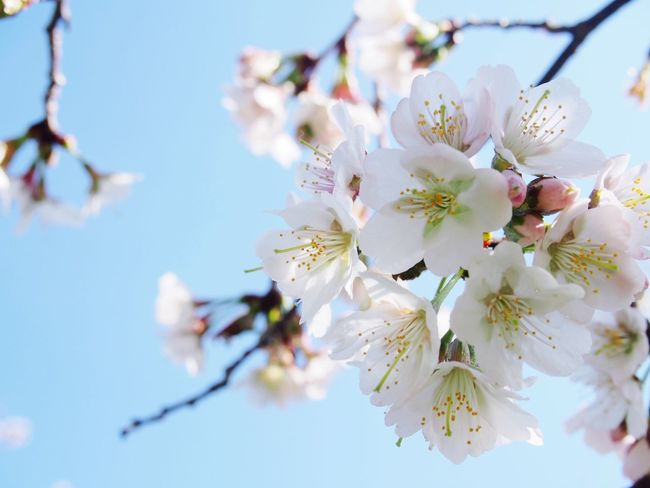 ヤマザクラ。 Cherry Blossom Flower Flowerporn EyeEm Flower