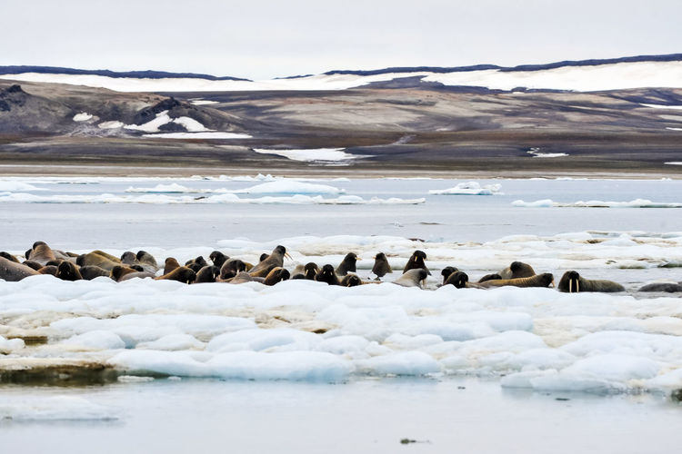 walrus Walrus Cold Temperature Large Group Of Animals Animals In The Wild Snow Group Of Animals Winter Animal Themes Animal Wildlife Animal Water Nature Beauty In Nature Land Day Vertebrate No People Environment Scenics - Nature Sky Ice Outdoors Snowcapped Mountain