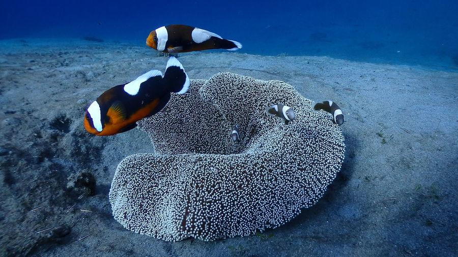 Saddleback clownfish family at pagkilatan