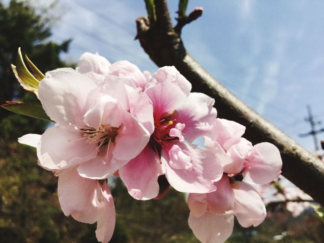 Cherry Blossoms Plant Fragility Flowering Plant Flower Vulnerability  Pink Color Freshness Beauty In Nature Petal Growth Close-up Flower Head Day Focus On Foreground No People Nature Pollen Blossom Springtime