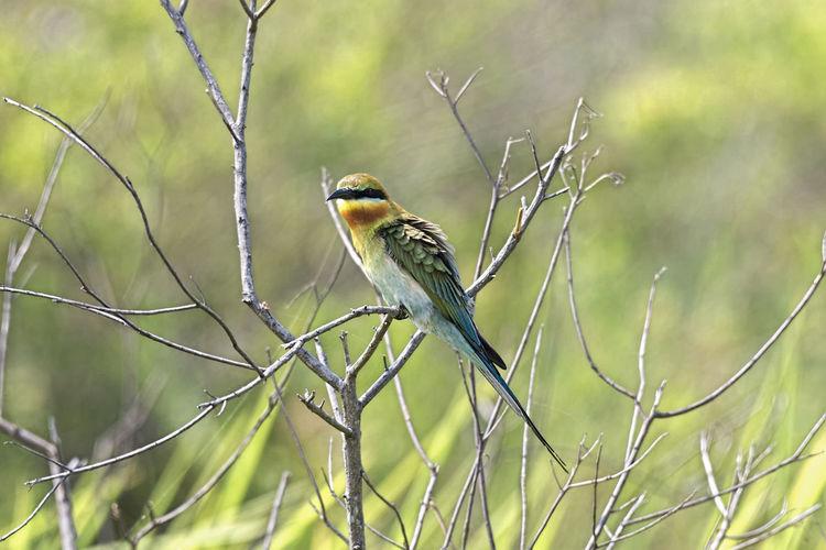 Blue Tailed Bee-eater Bird Animal Themes Animals In The Wild Animal Wildlife Perching Animal Nature Beauty In Nature Blue-tailed Bee-eater