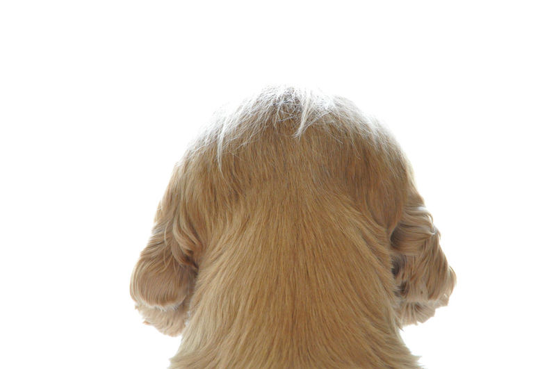 Rear View on a Dog. White Background Hair Studio Shot One Animal Blond Hair Copy Space Hairstyle Portrait Domestic Pets Indoors  Close-up Domestic Animals Dog Headshot Mammal Canine Rear View Creativity Cocker Spaniel  Cute Looking Away Animal Themes One Dog Dogslife