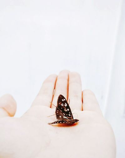 Cropped Hand Of Person Holding Butterfly Against Wall