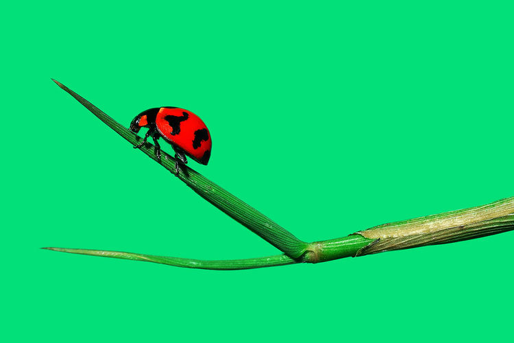 Animals In The Wild Animal Themes Insect One Animal No People Beauty In Nature Kishmark Photography Eyemphilippines Km TakeoverContrast Wildlife Macro Ladybug