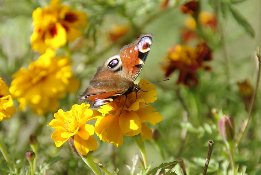 Butterfly takes sun bath Aglais Io Nature Nymphalidae Animal Themes Animal Wildlife Animals In The Wild Beauty In Nature Butterfly Close-up Day Flower Flower Head Flowers Growth Inachis Io Insect Nature No People Nymphalis Io One Animal Outdoors Petal Plant Pollination Yellow