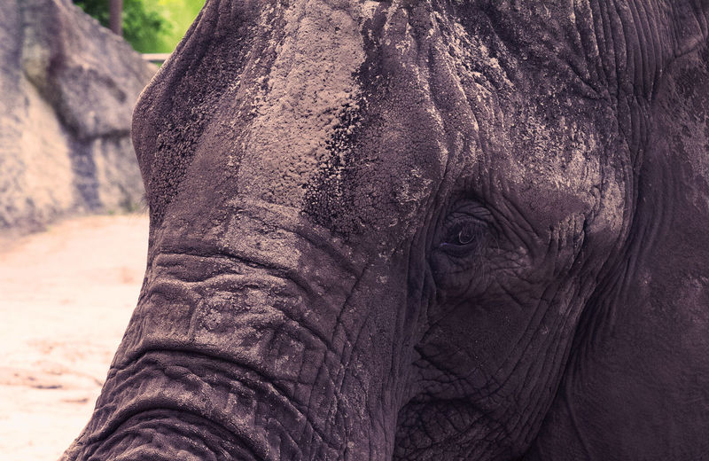 Close-up of dirty elephant