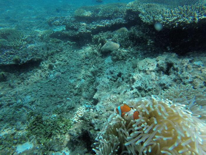 Clownfish Swimming By Sea Anemone Underwater
