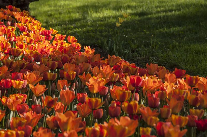 Colorfull EyeEm Nature Lover Flower Collection Flowers Flowers,Plants & Garden Garden Pralormo Red Tulip