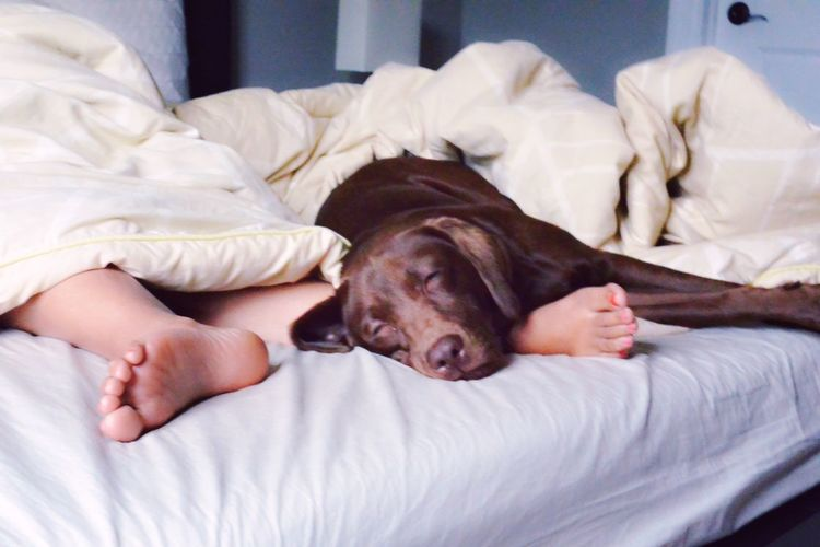 Low section of child sleeping with chocolate labrador on bed