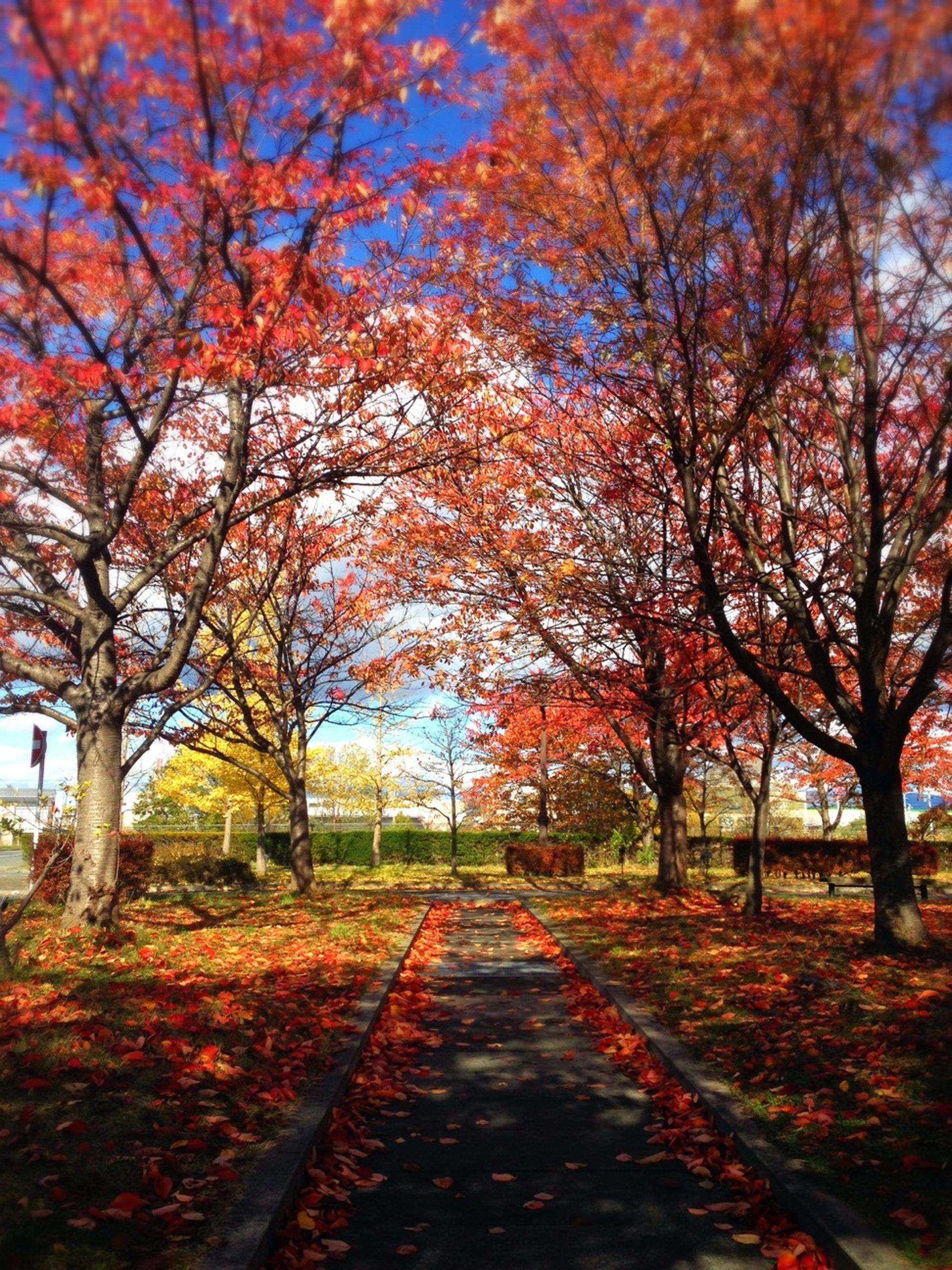 tree, autumn, change, the way forward, season, tranquility, nature, diminishing perspective, beauty in nature, branch, tranquil scene, footpath, park - man made space, scenics, growth, orange color, leaf, treelined, vanishing point, road