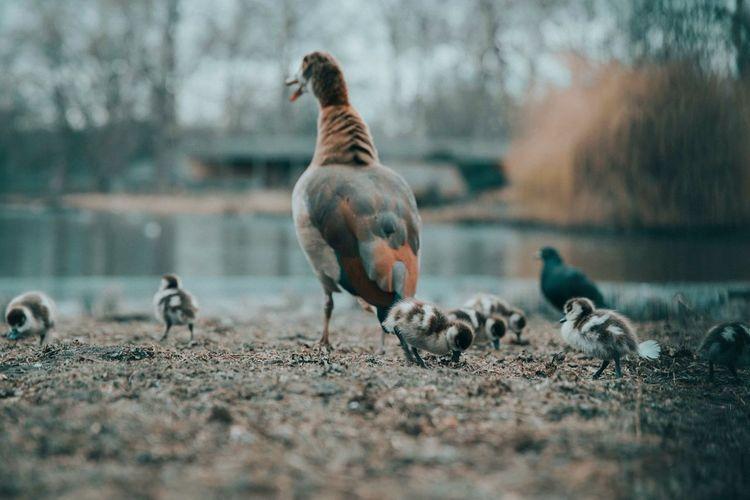 Wild life Naturesbeauty Wildlife & Nature Lifeisagift Life Beautifulnature Ducks Stjamespark Londonphotography Wildlife