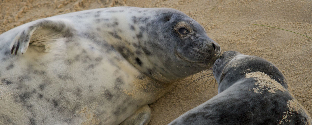 Grey Seal And Pup Grey Seal Love Animal Themes Close-up Day Grey Seal Pup Grey Seals Grey Seals Love In Nature Love ♥ Lovely Mammal Nature No People Outdoors Sand
