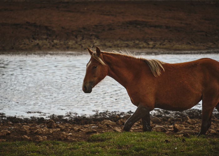 Feral horse walking next to a water place.