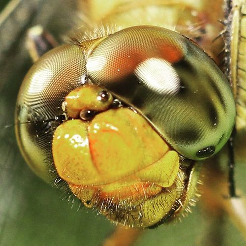 Jauh dekat pakailah helm. Dragonfly_of_the_day Dragonfly Dragonflies Ig_dragonflies kings_insects tgif_macro macroworld_tr macroworld igglobalmacroclub