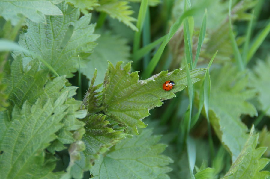 Animal Themes Beauty In Nature Bonn Brennessel🌾 Day Deutschland Focus On Foreground Friesdorf Frühling Germany Green Color Insect Ladybug Nature No People One Animal Outdoors Red Spring Stinging Nettles