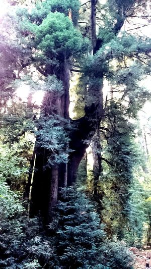 California Redwoods Nature Redwoods Nature Photography Nature_collection