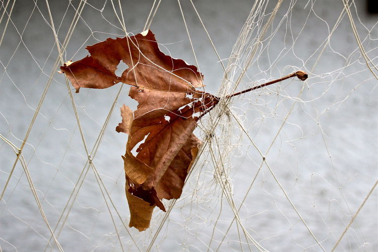 Close-up of dry leaf on spider web