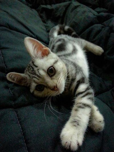 Good morning! Americanshorthair Kitten Cat Yuri