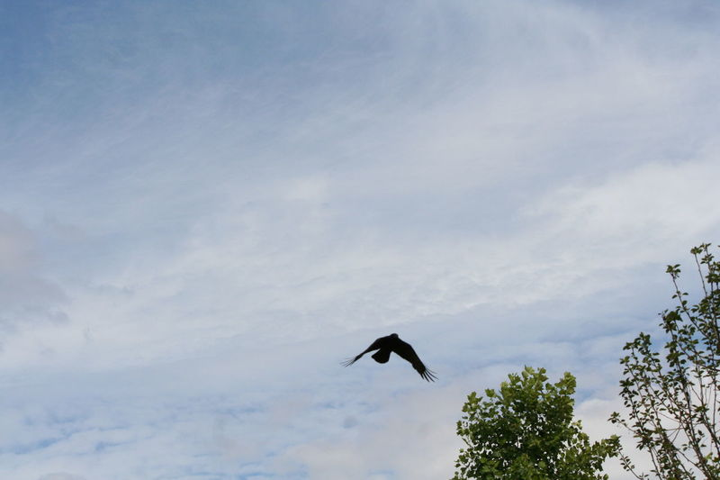 Animal Avian Beauty In Nature Bird Blue Cloud Cloud - Sky Cloudy Day Flying Freedom Low Angle View Mid-air Nature No People Outdoors Raven Scenics Sky Spread Wings Tranquility Wildlife
