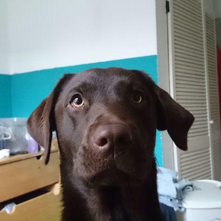 Lena Labrador Labrador Retriever Chocolatelab Chocolatelabrador Mydogiscoolerthanyourkids My Dogs Are Cooler Than Your Kids My Dog Is Cooler Than Your Kids My Dog Is Cooler Than Your Kid. Now one year old :-)