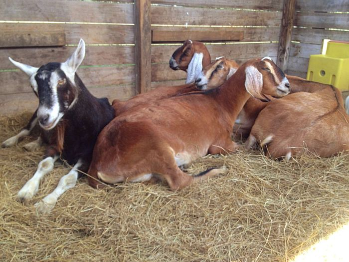Animal Themes Goatfarm Serenitygoats Goatlife Serenityacres Animal_collection Goat Life Animal Photography Herd Goat Herbivorous Pampered Pets
