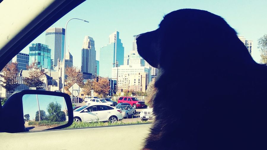 Not a great quality photo, but I enjoy my cities loops with Shadow. :) Stuck In Traffic Transportation Window Built Structure Vehicle Interior Travel Traffic City Life Cityscape Hanging Out Taking Photos Check This Out Shadow Pets Dog Animal One Animal Bernese Mountain Dog Dogs Of EyeEm Domestic Animals Joy Ride Enjoying Life The Drive