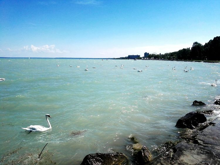 Balaton Hungary Blue Sky Blue Water Swan Beatiful Beautiful Nature Outside LoveNature Offday Relax Color Photography Summerday Walk This Way Summer Turist