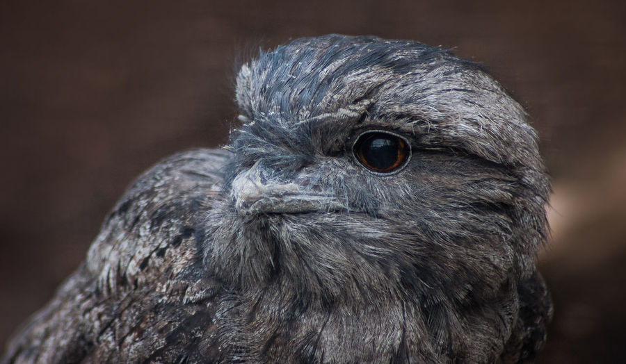 Tawny Frogmouth Tawny Frogmouth Animal Head  Animal Themes Animal Wildlife Animals In The Wild Beak Bird Bird Of Prey Close-up Day Focus On Foreground Nature No People One Animal Outdoors Portrait