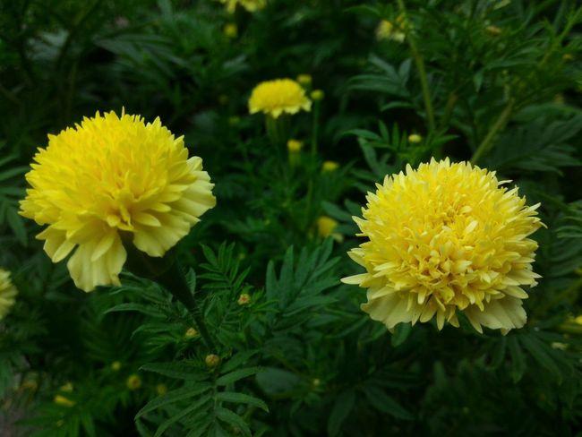 Yellow Flower Flower Head Flower Yellow Petal Botanical Garden Leaf Close-up Plant