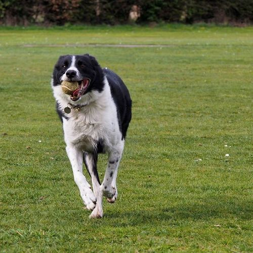 My dog Charlie running around in the park yesterday afternoon, he is never happier than when playing with a ball in a park. _____________________________________ Dog Dogsofinstagram Dogwalk Dogs Park Paradise Happy Happydog Running Bestfriend Dogdays Olympus Bornfree Activedog
