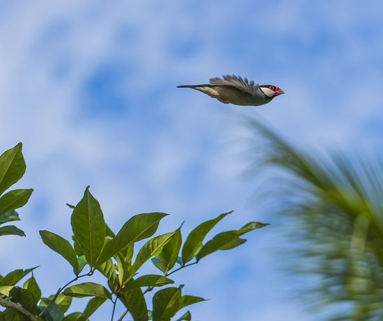 Java Rocket (Java sparrow) Animal Themes Bird Animals In The Wild One Animal Flying Low Angle View Nature Sky Leaf No People Plant Part Mid-air Spread Wings Green Color Tree Outdoors Bird In Flight Action Shot  Finch Hawaii