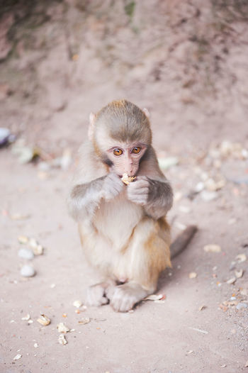 Baby rhesus macaque eating a peanut in Xichang forest, China Rhesus Macaque Animal Themes Animal Wildlife Animals In The Wild Close-up Full Length Mammal Monkey Nature No People One Animal Outdoors Primate Sitting Young Animal