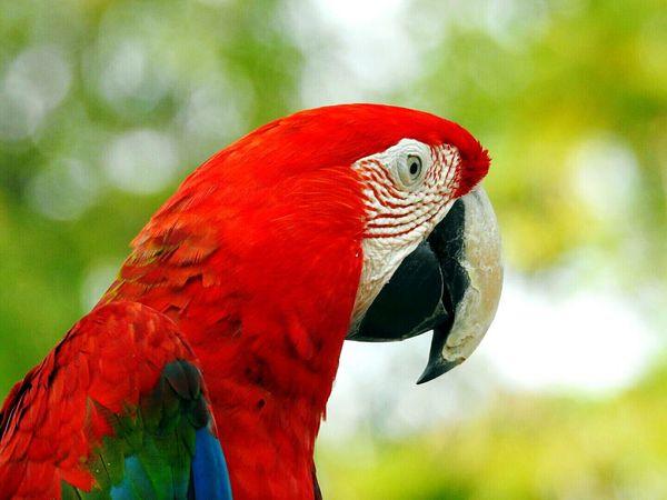 Parrot Reditem