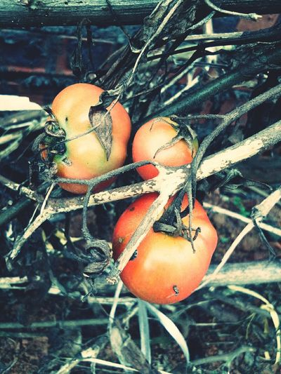 Tomato 🍅 Tree Fishing Net Buoy Close-up Food And Drink