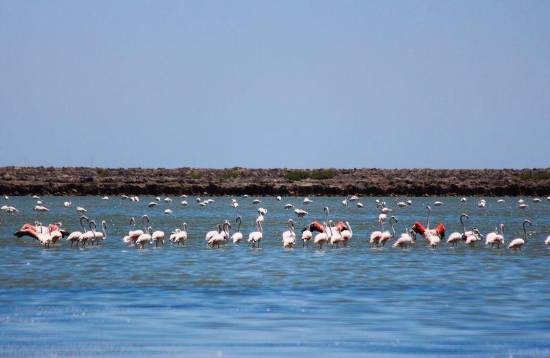 Birds in water against clear sky