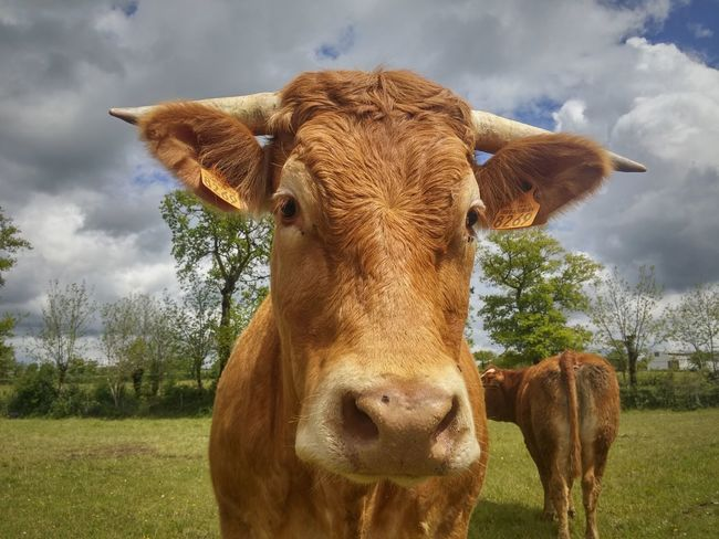 Domestic Animals Cow Looking At Camera Agriculture Portrait Animal Themes Nature Sky Mammal Close-up Clouds Nature Photography Naturelovers Nature_collection Nature Elevage Occitanie Vache Animal Head  Animal Photography Aveyron Rural Rural Scene Agriculture One Animal The Portraitist - 2017 EyeEm Awards