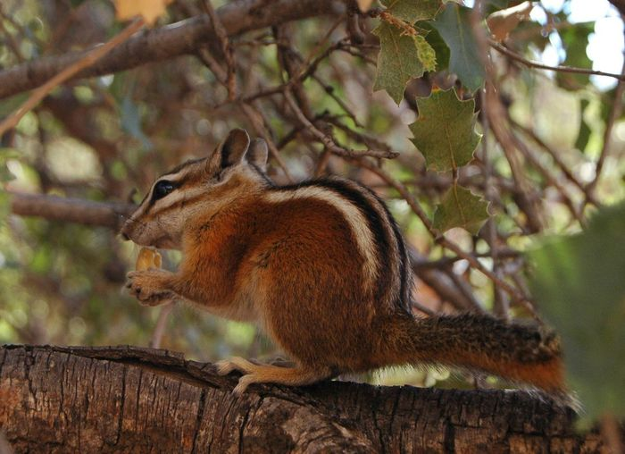 One Animal Animals In The Wild Tree Animal Wildlife Focus On Foreground Day Nature Squirrel Branch No People Animal Themes Outdoors Mammal Close-up chipmunk Chipmunk Zion National Park Angels Landing EyeEmNewHere
