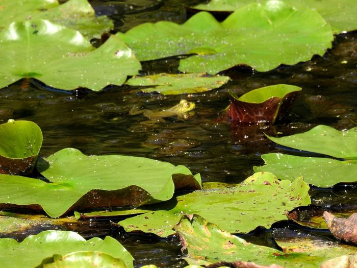 green frog in pond Wildlife Wildlife & Nature Wildlife Photography Nature Nature_collection Nature Photography Frog Frogs Froggy Green Pond Pond Life Pond Lily Green Frog Hiding In Plain Sight Water Leaf Floating On Water Water Lily Pond Close-up Green Color Lily Pad Water Plant Floating Greenery Amphibian