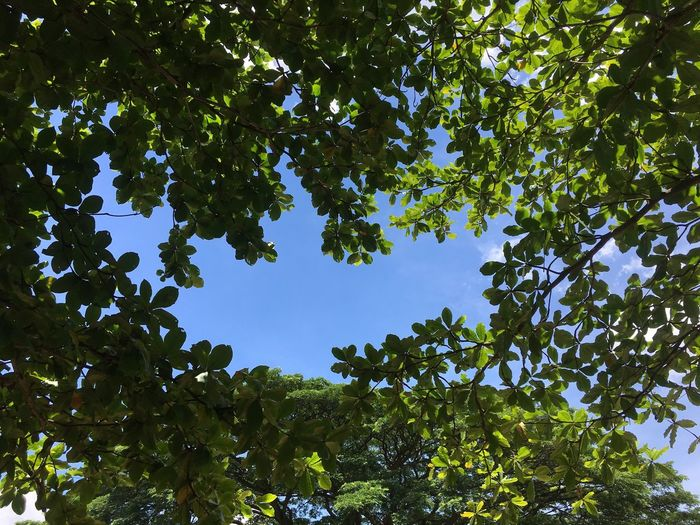 Tree Low Angle View Plant Growth Green Color Beauty In Nature Sky Branch Leaf Outdoors Nature Scenics - Nature Blue No People Plant Part