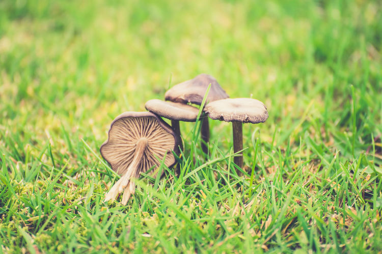 Iceland, Europe Beauty In Nature Close-up Day Edible Mushroom Field Food Fragility Fungus Grass Green Color Growth Land Mushroom Nature No People Outdoors Plant Selective Focus Toadstool Vegetable Vulnerability  Wild