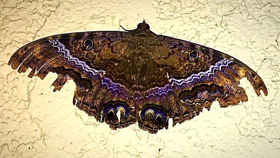 """Huge 5 inch """"Black Witch Moth"""" outside work on the wall tonight. Beautiful. Looks like it survived some storms, with its tattered wings and all.✨ Close-up Moth Black Witch Moth Outdoors Nature IPhone Photography Beauty In Nature Insect Theme Nightshot Insect Photography Insect Night Photography Night Creatures Moth Moth Close Up"""